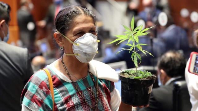 Jesusa Rodríguez con su planta de marihuana en el Senado. (Foto: SDP)