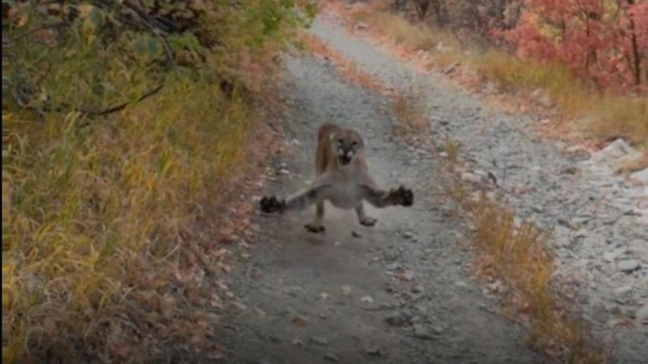 Puma persigue senderista Utah Estados Unidos