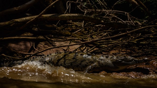 capturan cocodrilo más de metro y medio Puerto Escondido Oaxaca