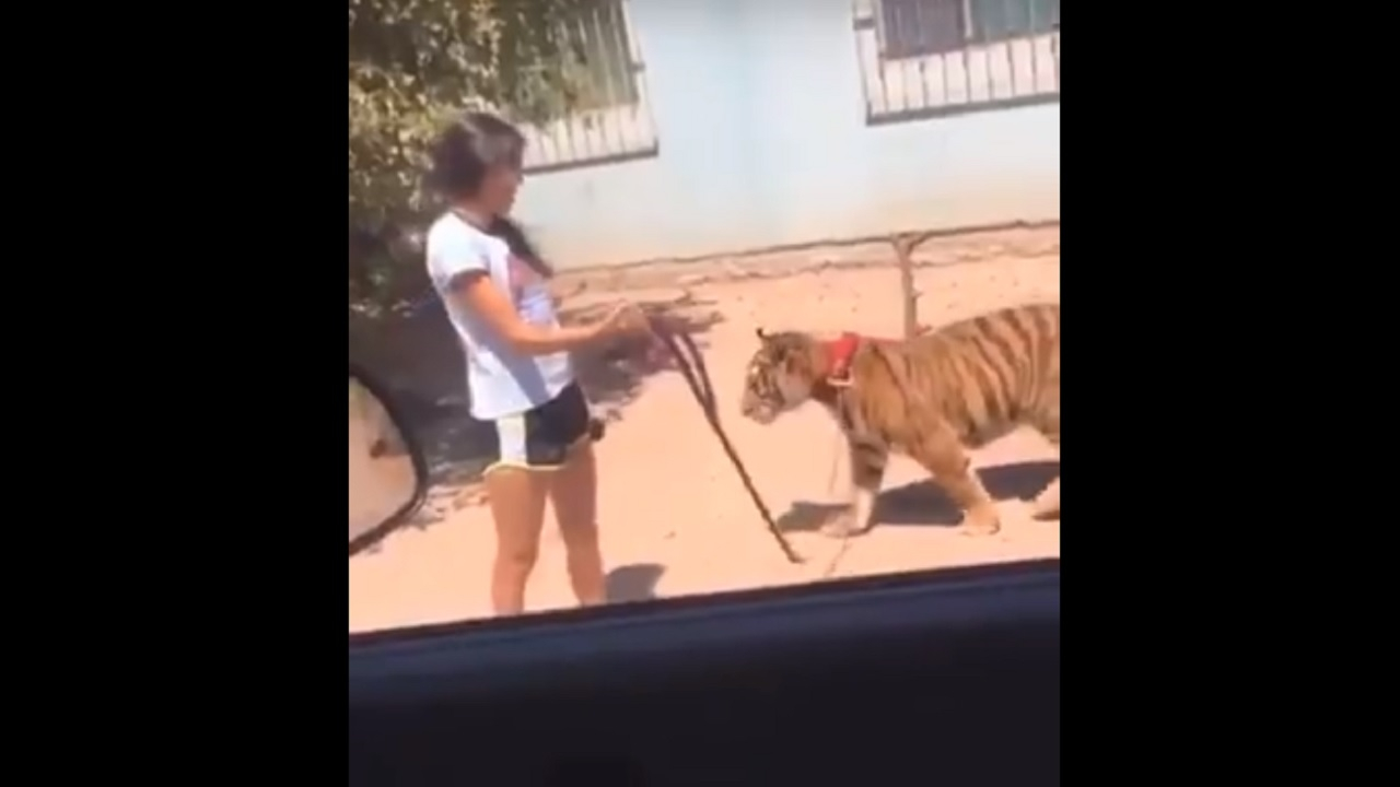 joven pasea tigre Guasave Sinaloa
