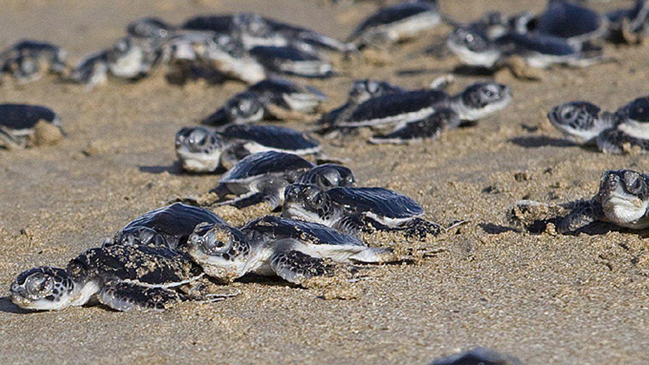 En un hecho histórico, un total de dos mil 289 tortugas golfinas eclosionaron en playa Mancha Blanca, Sonora