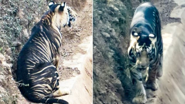 Tigre negro fotografiado India