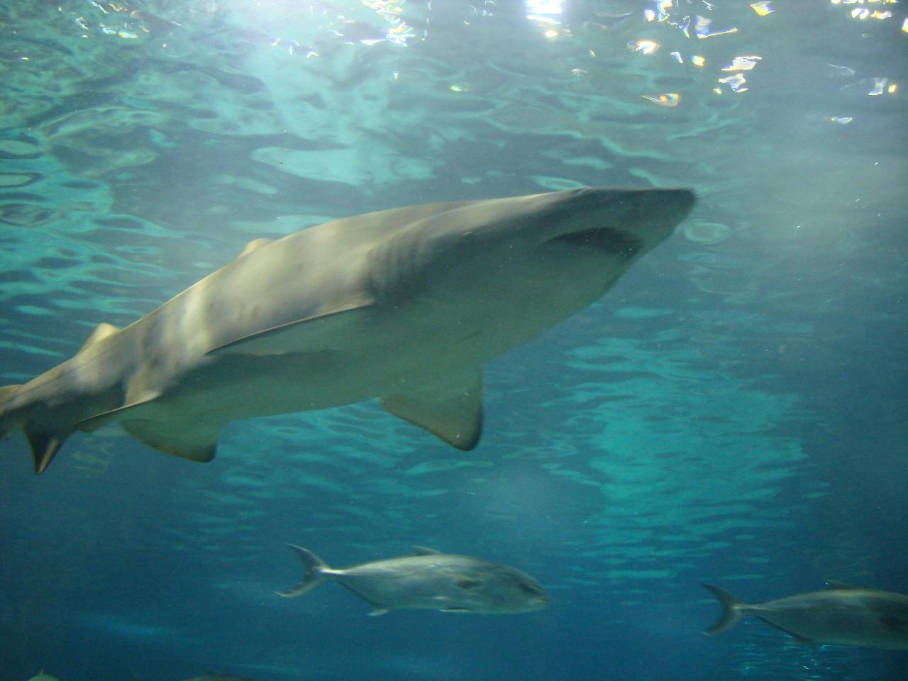 75% tiburones rayas oceánicas peligro extinción sobrepesca