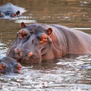 Hipopótamos Pablo Escobar amenaza ambiental alertan científicos