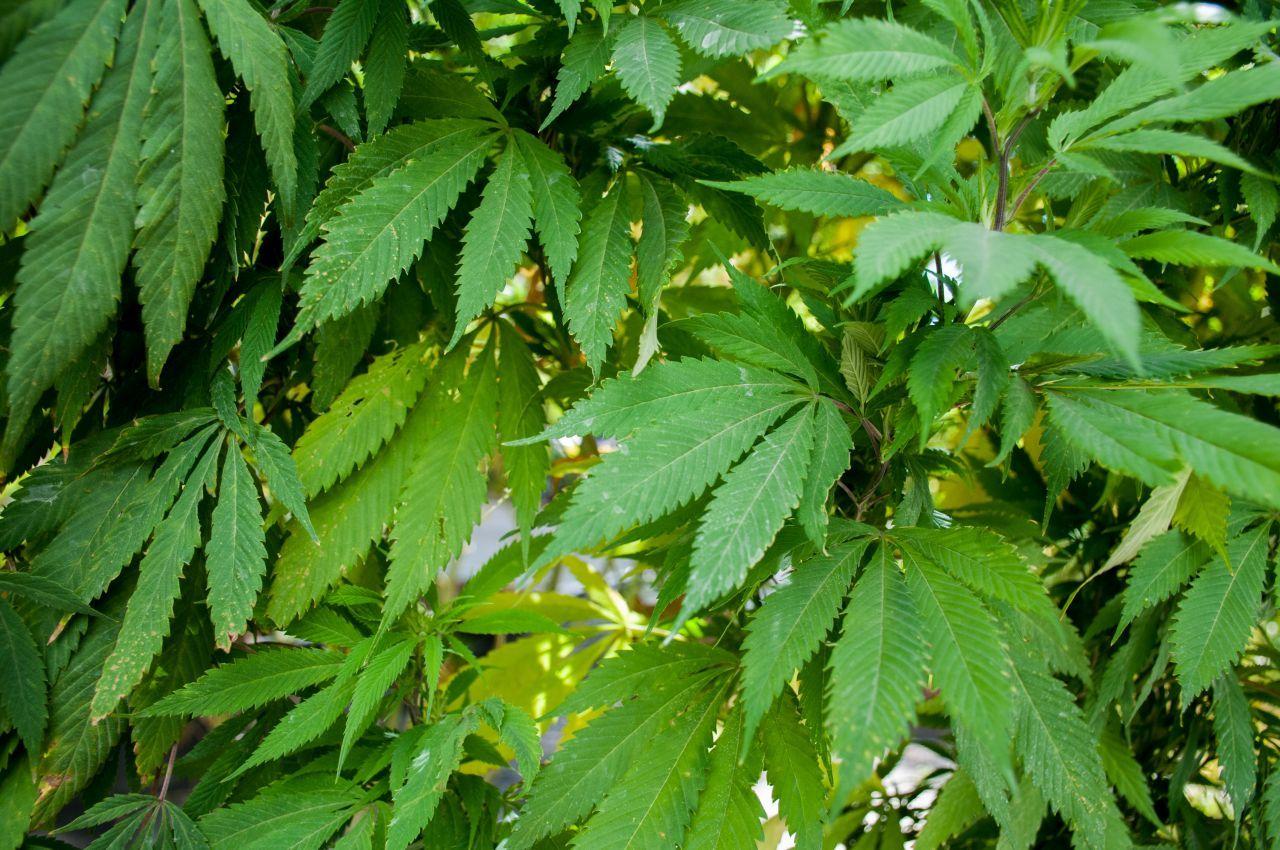 Marihuana medicinal legal