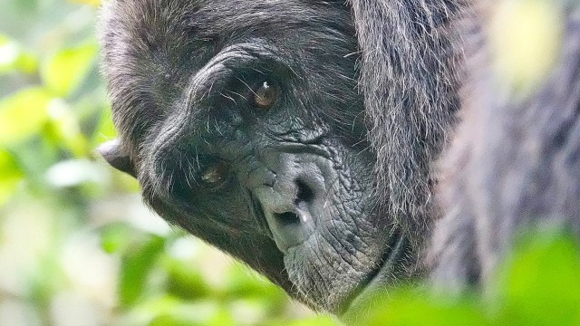 Registran 'guerra civil' entre chimpancés por asesinatos entre clanes