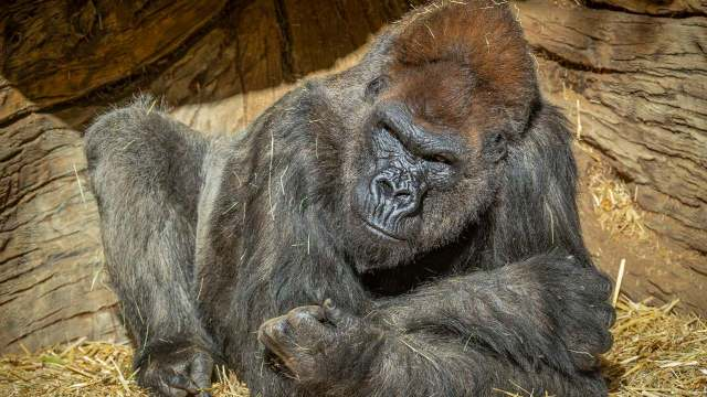 gorilas zoológico San Diego positivo COVID-19
