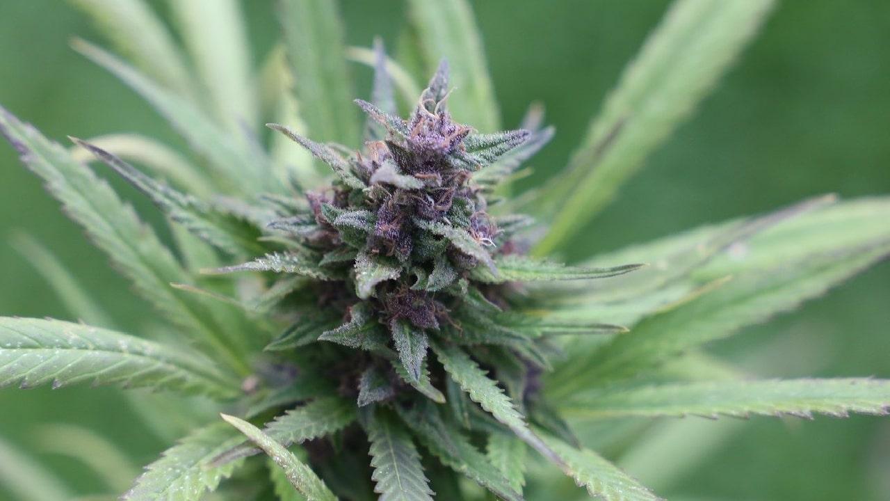 Comisiones Unidas de Salud y Justicia aporbaron en consumo lúdico de la marihuana