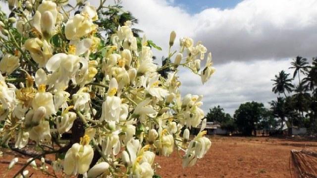 Según estudios de la UNAM, la Moringa es un árbol milagroso que inhibe la presión arterial, los niveles de azúcar en la sangre y las toxinas.