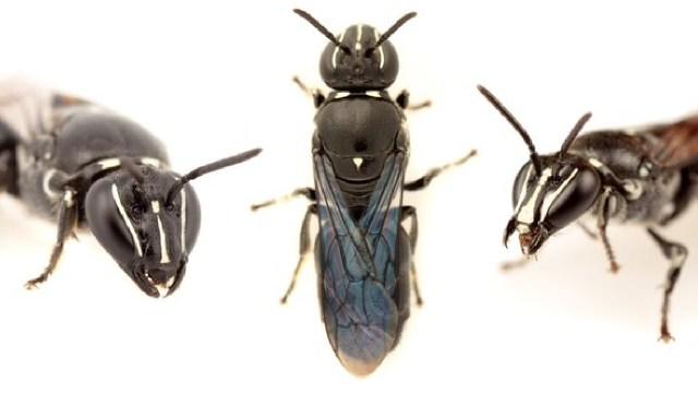 En Australia descubrieron una abeja que se creía extinta