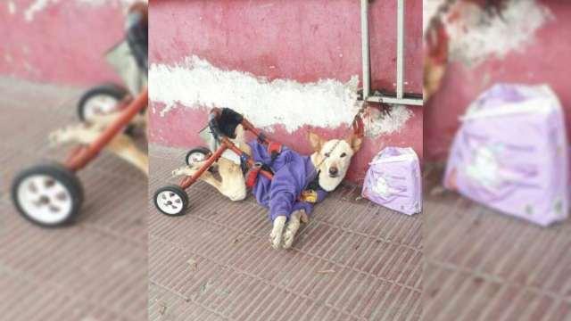 Abandonan a perrita discapacitada en calles de Argentina