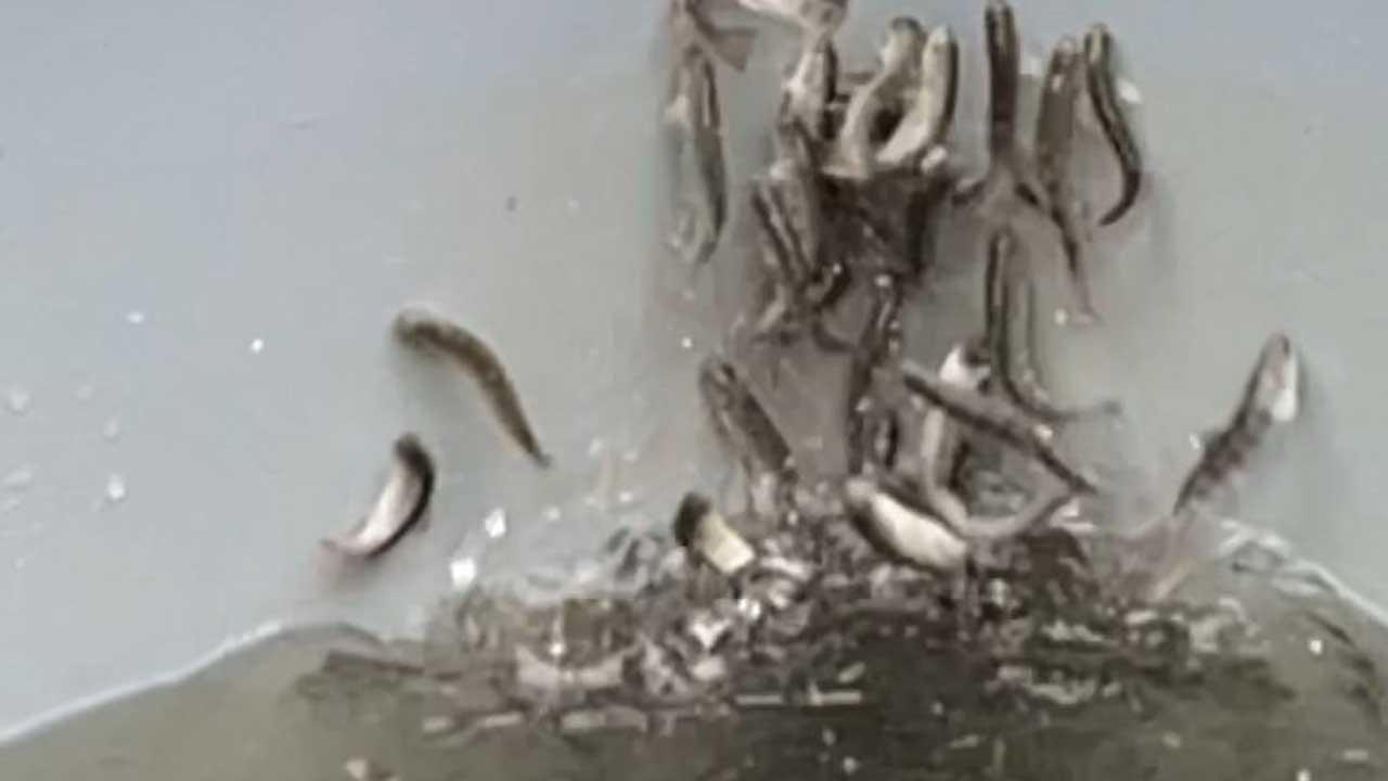 Salmones intoxicados con cocaína en Alemania