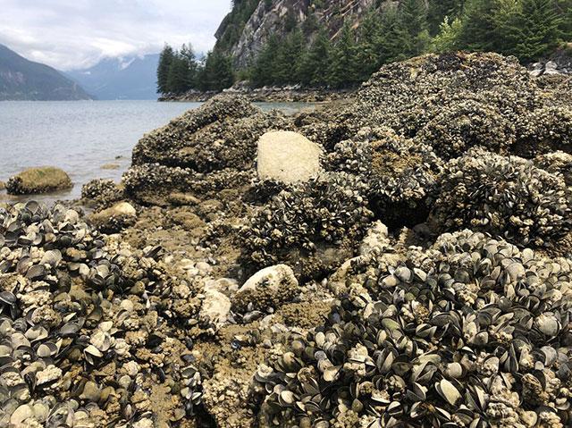 Canada Ola de calor está cocinando vivos a los animales marinos