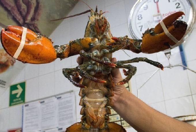 Ley Prohibiría Langostas Cocinadas Vivas