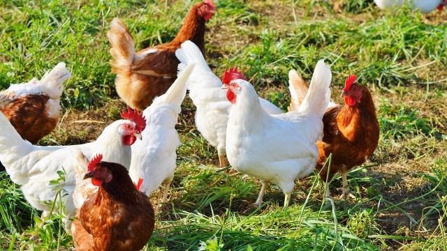 Francia Prohiben Aplastamiento Pollos Machos Crueldad Animal