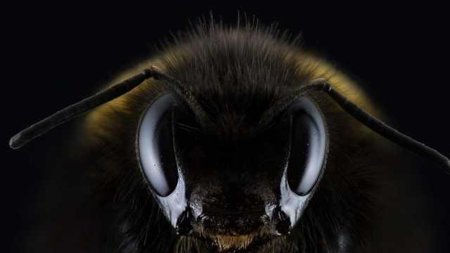 Investigadores en Ecuador descubren abeja andrógina