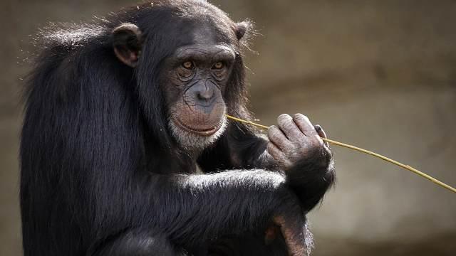El asesinato de una cría albina exhibe los infanticidios entre chimpancés (Video)