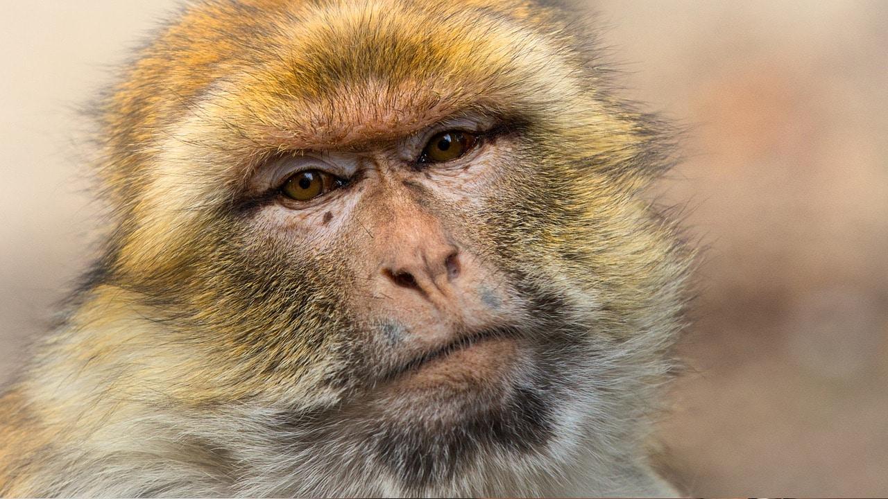 Yakei hembra alfa dirige 677 monos