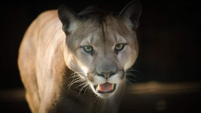Oaxaca Niño Mazateco Muere Ataque Puma