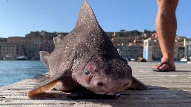 Encontraron tiburón cara de cerdo