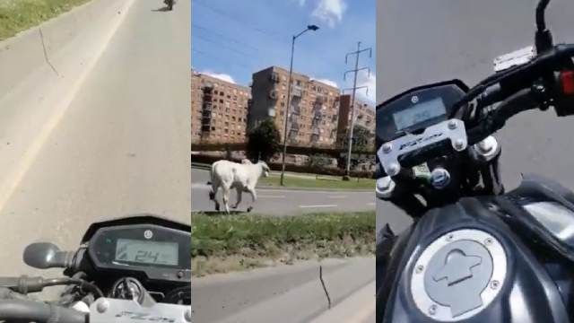 Toro escapó de un matadero