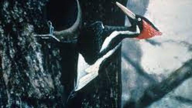 ¡Hasta nunca! Declaran extinto a pájaro carpintero y 22 especies más