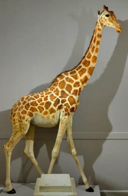 La Girafe de Charles X empaillée et exposée au museum d'histoire naturelle de La Rochelle