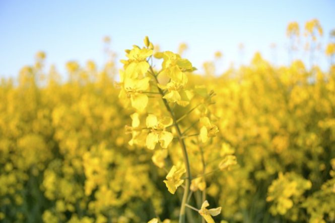 champs-de-colza-rapeseed-fields-18