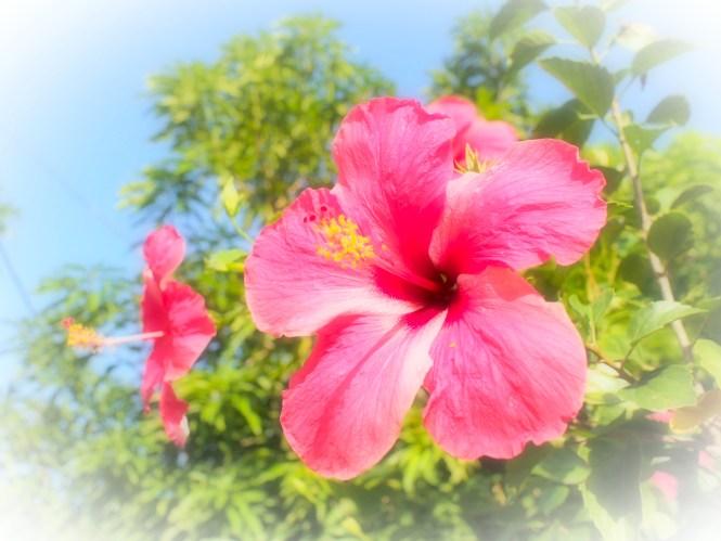 Martinique hibiscus