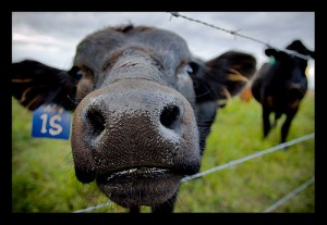 cow-wire