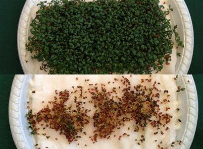 semillas de berro