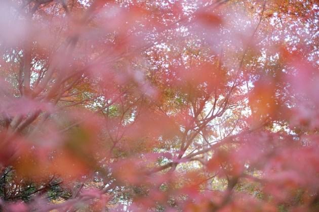 前ボケがピンクな紅葉 手前の葉とかなり接近して撮影