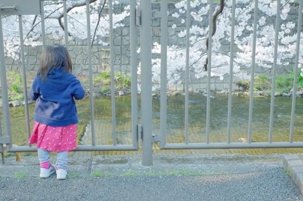 桜を見つめる少女 川沿いの桜並木にて