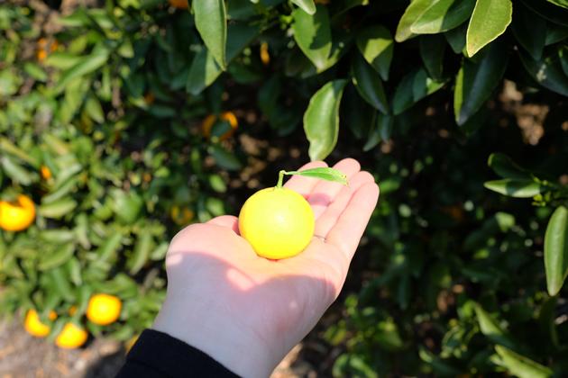 星野リゾート リゾナーレ熱海 オレンジ狩り ゴールデンオレンジは小さめ