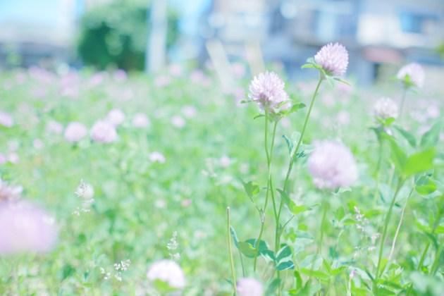好きな花の季節がやってきた_ムラサキツメクサ