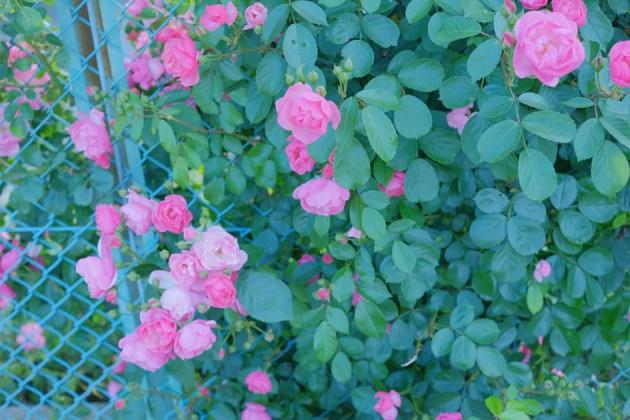 バラが咲いた_散歩途中