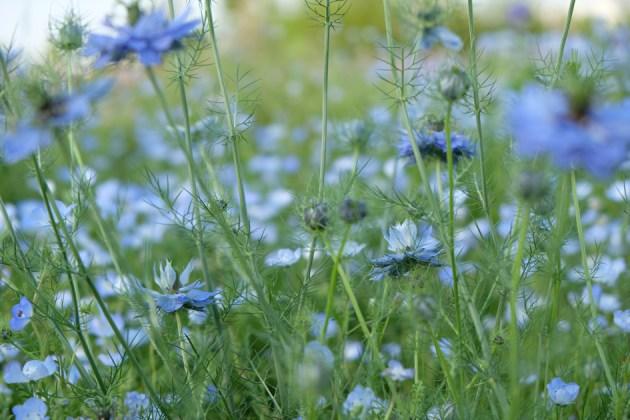 青い花_18-55mm