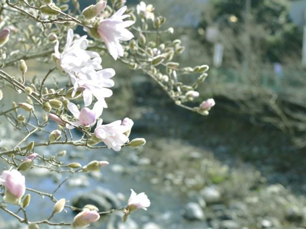 箱根湯本 こぶしの花 川沿いに咲く