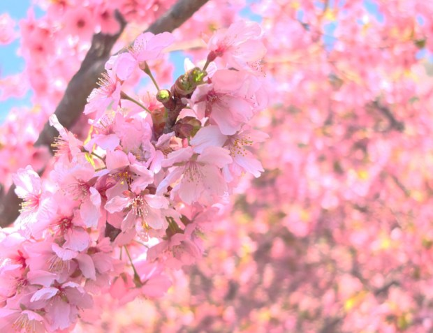 松田ハーブガーデン 桜まつりを撮り比べてみた FUJIFILM X10