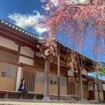 日野恵福寺しだれ桜