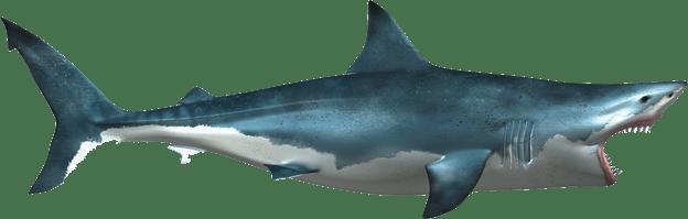 Shark PNG Transparent SharkPNG Images PlusPNG