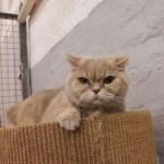 British Kurzhaar Katze Joy