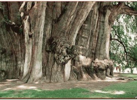 Самое старое дерево в мире Олд Тжикко