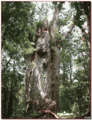 Олд Тжикко, ель которой 10 000 лет, она считаеться самым старым деревом на земле