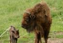Savčí matadoři plzeňské zoo aneb zubřice Cvarka má narozeniny