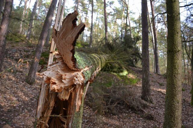 vyvrácený strom