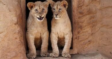 Lví sourozenci z plzeňské zoo slaví první narozeniny