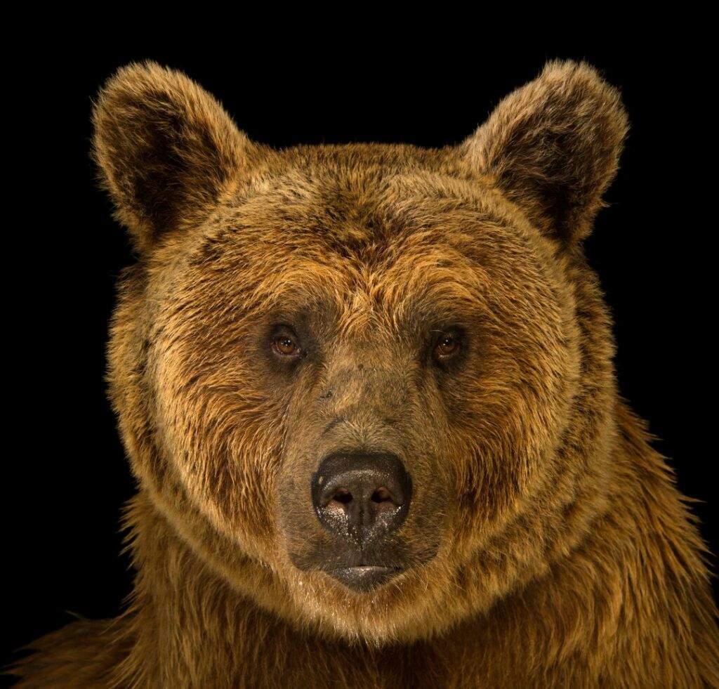 Salovnic Epoch Bear