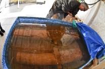 Canhões permanecem em tratamento químico até outubro. Foto: Petra Mafalda
