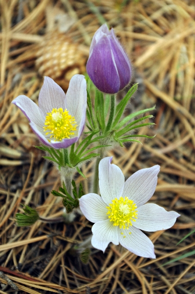 Pasque Flowers - budding, bloomin and in bloom